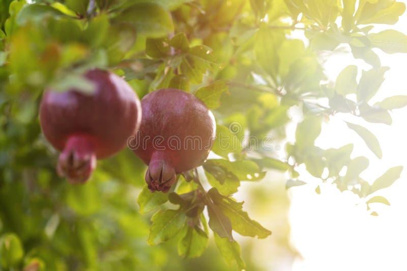 Зрелое дерево гранатового дерева растет в саде сада Ветвь дерева со свежим гранатовым деревом стоковые изображения