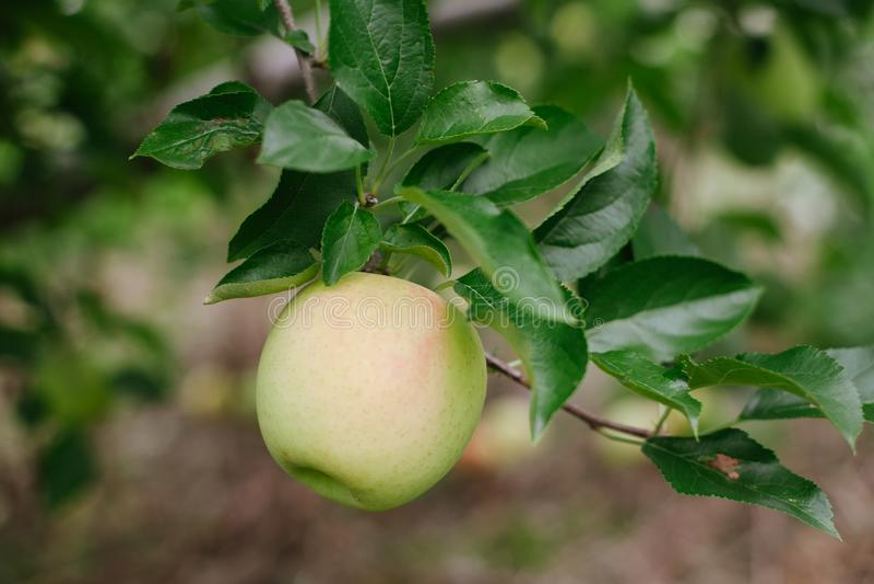 Зрелое золотое яблоко на ветви готовой быть выбранным стоковые изображения
