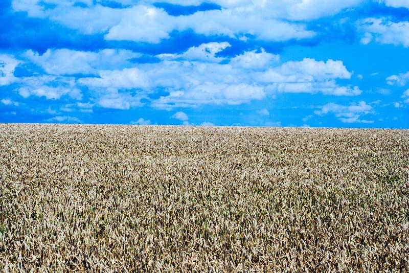 Зрелое поле хлопьев стоковая фотография