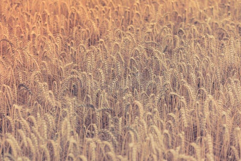 Зрелое поле хлопьев стоковые изображения rf