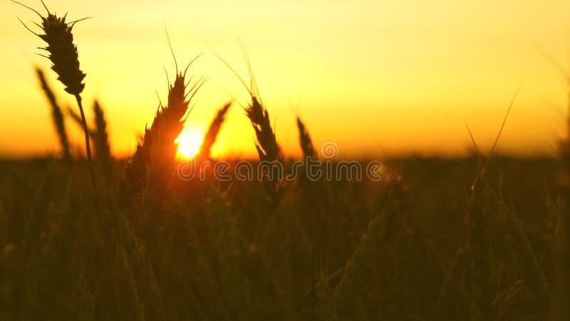 Зрелое пшеничное поле в золотых лучах восхода солнца красивые уши со зрелым взмахом зерна в ветре : зрелые хлопья стоковые изображения
