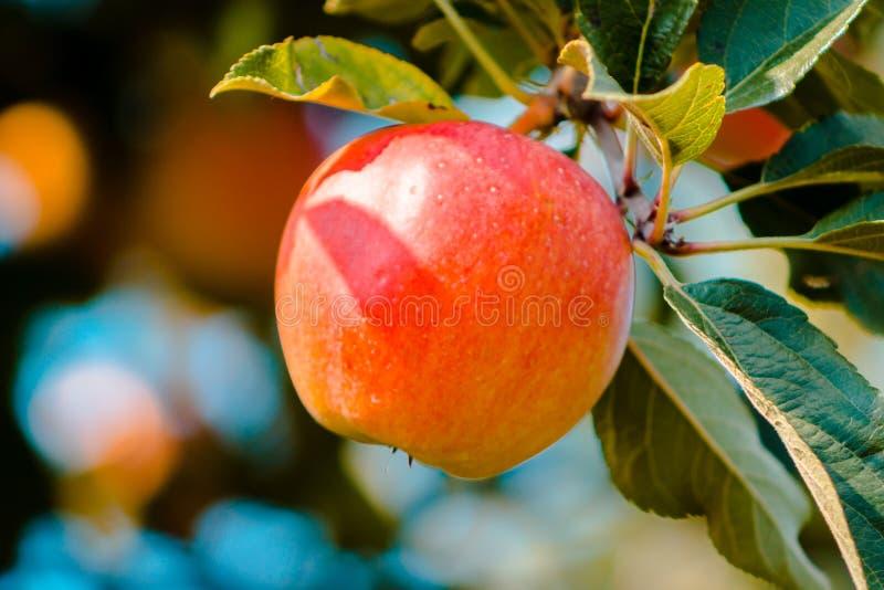 Зрелое яблоко Мичигана готовое для того чтобы выбрать на саде осенью стоковые изображения rf