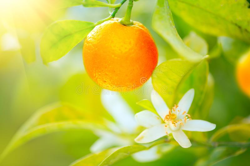 Зрелые апельсины или tangerines вися на дереве Органический сочный оранжевый расти стоковая фотография