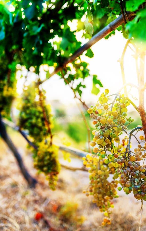 Зрелые виноградины вина на заводах вина виноградины в золотом солнечном свете стоковая фотография