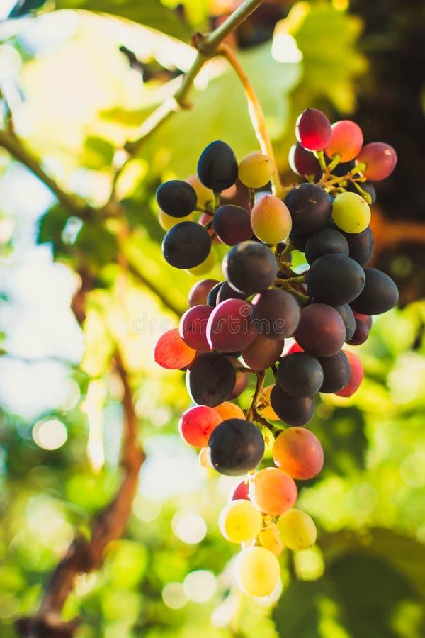 Зрелые виноградины стоковые фотографии rf