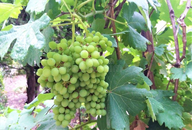 Зрелые виноградины повиснули на виноградниках деревьев виноградины стоковые изображения rf