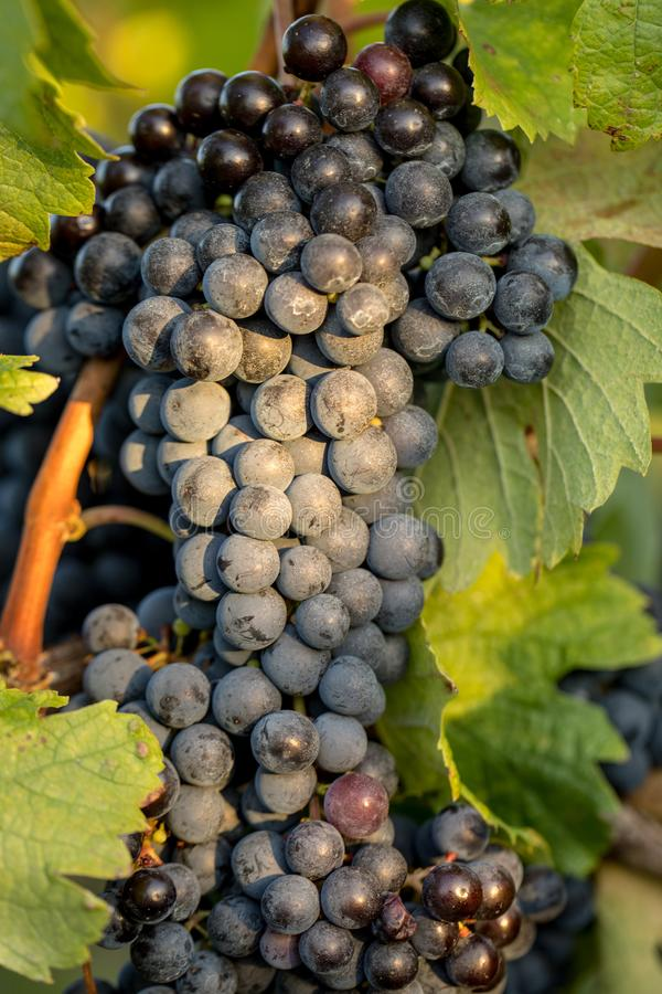 Зрелые виноградины Merlot освещенные теплой последней солнечностью в винограднике Montagne около Святого Emilion, Жиронды, Аквита стоковая фотография rf