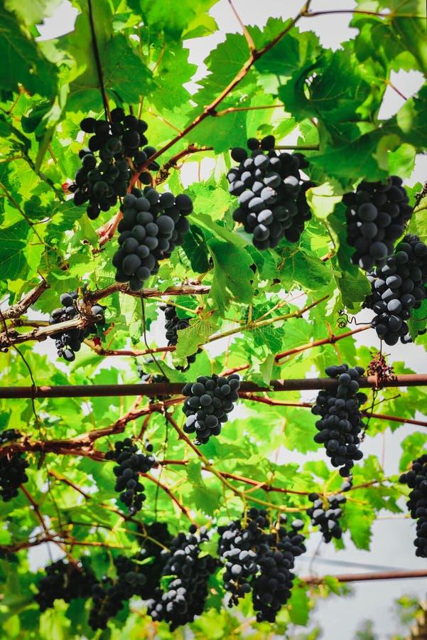 Зрелые голубые виноградины в беседке стоковые изображения