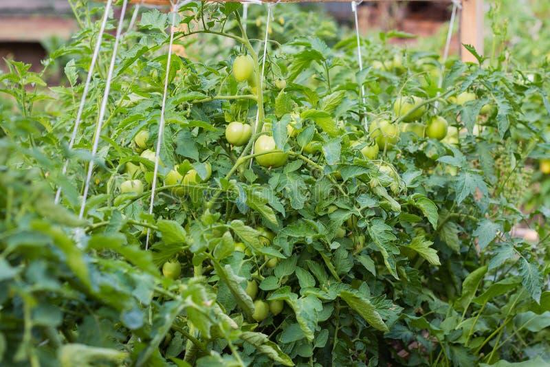 зрелые зеленые томаты вися на лозе завода томата в саде стоковые изображения rf