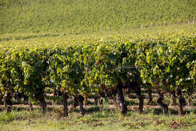Зрелые красные виноградины на строках лоз в vienyard перед сбором вина в регионе Emilion Святого r стоковые изображения