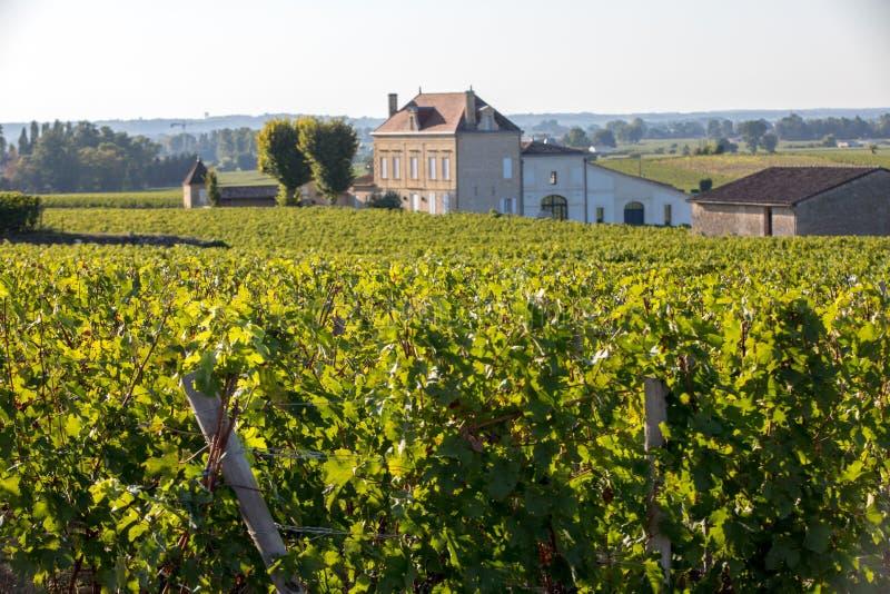Зрелые красные виноградины на строках лоз в vienyard перед сбором вина в регионе Emilion Святого r стоковая фотография