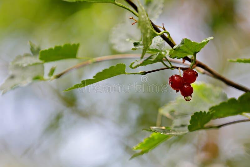 Зрелые красные ягоды красной смородины стоковая фотография rf