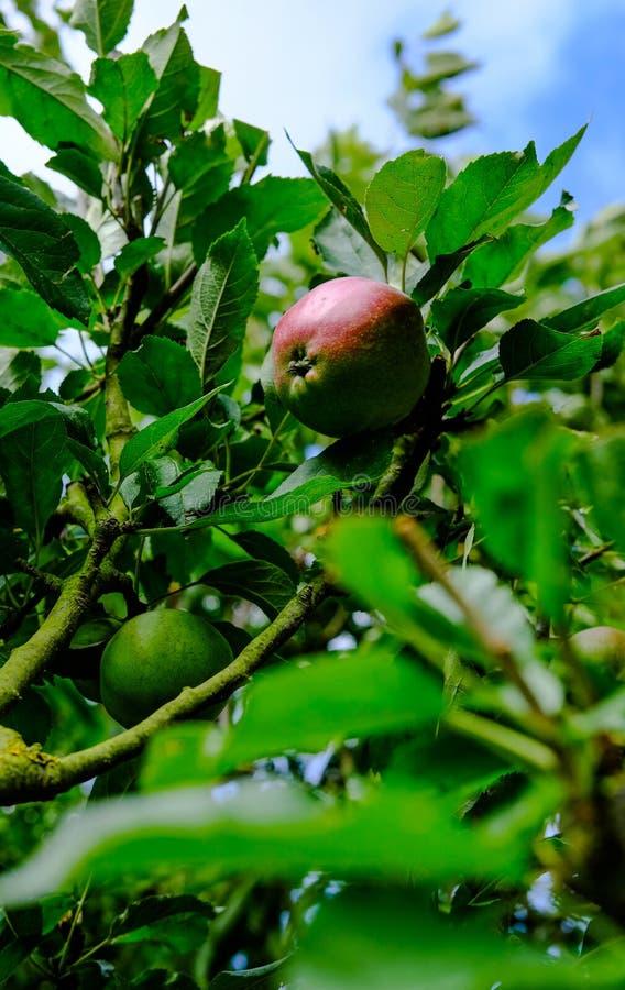 Зрелые, органические яблоки увиденные на одном из нескольких деревьев в коммерчески саде сидра стоковое изображение rf
