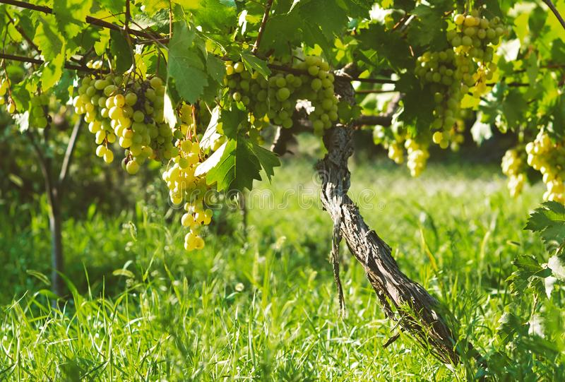 Зрелые пуки плодоовощ белой виноградины осени жмут готовое для дальнейшей обработки в земледелии и производстве и вине стоковые изображения rf