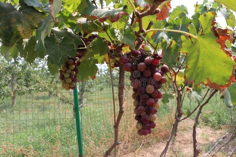 Зрелые пурпурные виноградины в полях в Lintong, Китае стоковые изображения rf