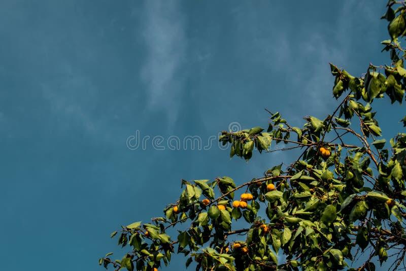 Зрелые, сладкие и вкусные, оранжевые и красные абрикосы стоковое изображение rf