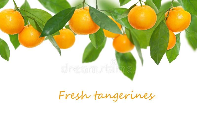 Зрелые сочные свежие tangerines при зеленые листья вися на ветви изолированной на белой предпосылке, коллаже, экземпляре космоса стоковое изображение rf