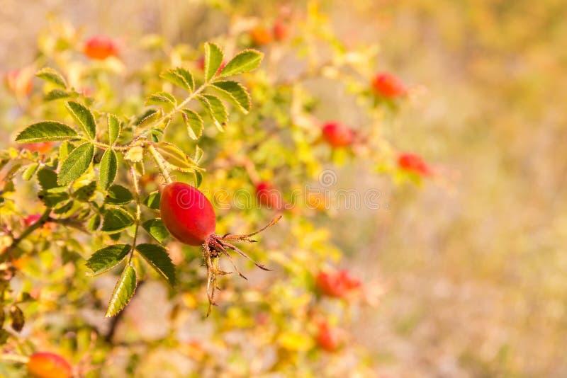 Зрелые ягоды розового бедра растя на кусте розового бедра стоковые фото