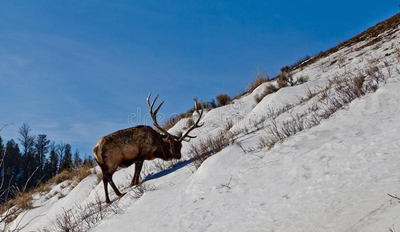 Зрелый бык лося ища еда на крутом снежном холме стоковые изображения rf