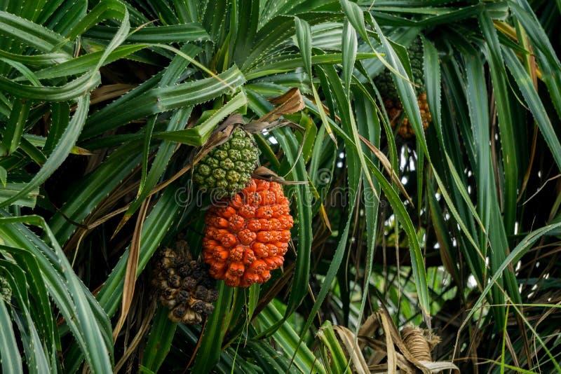 Зрелый и незрелый плодоовощ сосны винта или odorifer пандана на дереве стоковые изображения rf