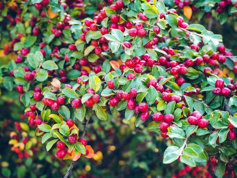 Зрелый красный сияющий кизильник ягод на ветви стоковое изображение rf