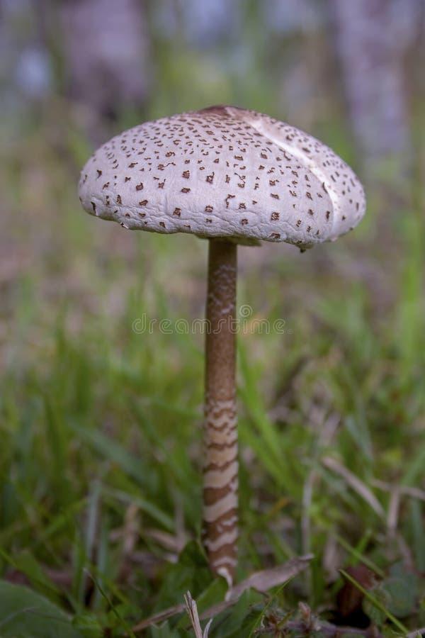 Зрелый образец гриба парасоля стоковые фото