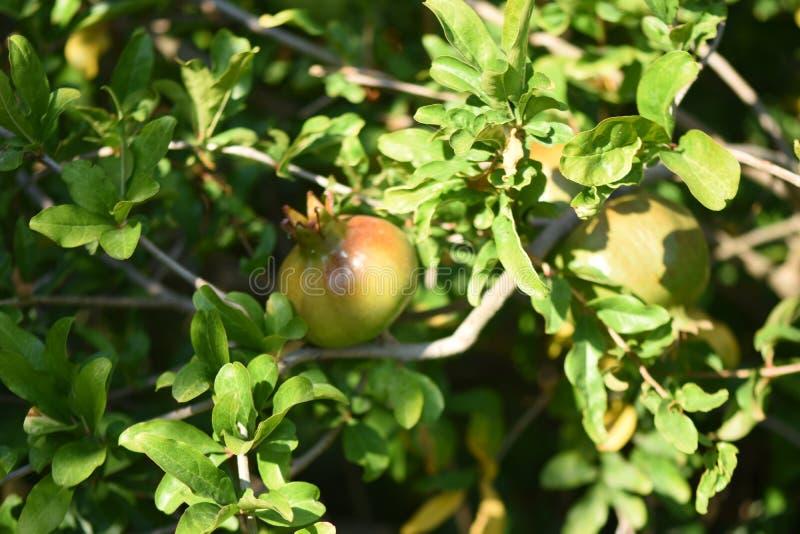 Зрелый плодоовощ гранатового дерева на ветви дерева стоковые фотографии rf