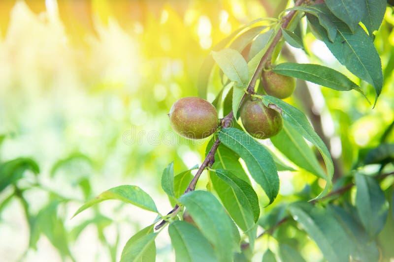 Зрелый сладкий расти плодов на ветви персикового дерева стоковые фотографии rf