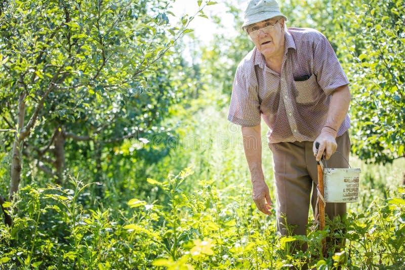 Зрелый человек собирая жуков картошки стоковое изображение rf