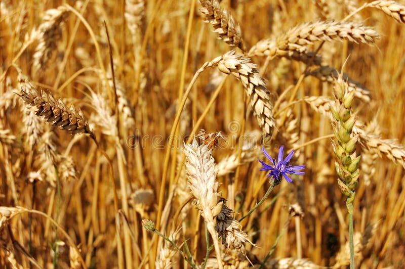 зрелый wildflower пшеницы стоковые фото