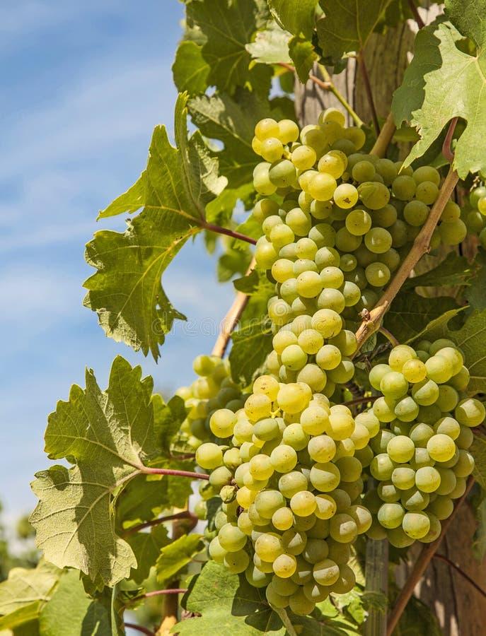 Зрея виноградина стоковые фотографии rf