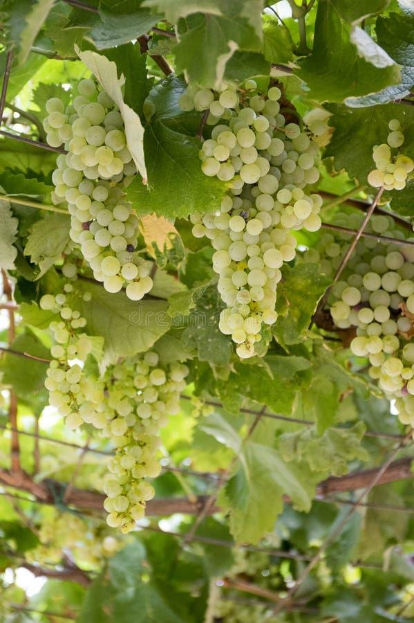 Зрея виноградины вина на ветвях стоковое изображение rf