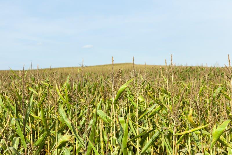 кукурузное поле осени стоковое фото