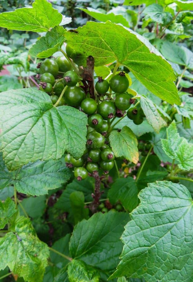 Зрея зеленые ягоды черной смородины, в саде стоковое изображение