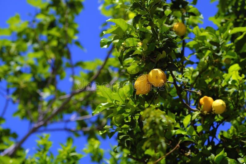 Зрея лимоны, яркие желтые плоды стоковое изображение rf
