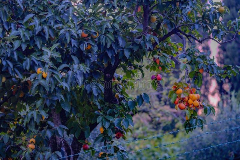 Зрея плоды хурмы, хороший сбор стоковое изображение rf