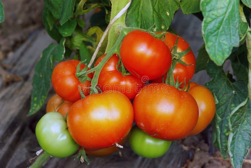 зрея томаты стоковое фото rf