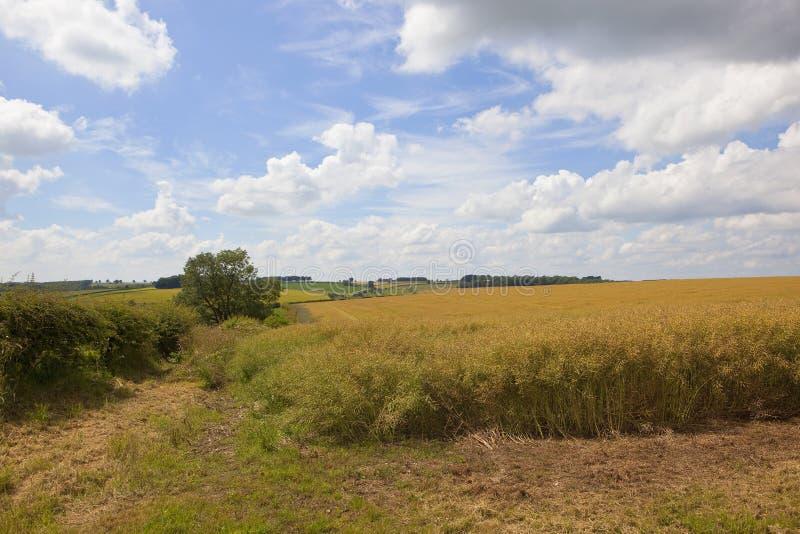 Зрея урожай рапса на пасмурный летний день стоковое фото rf