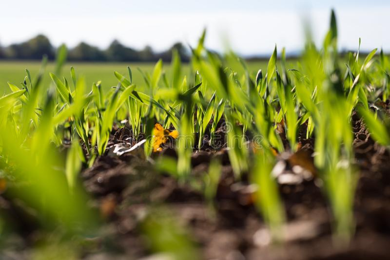 Зрея хлопья зимы, поле зерен зимы выровнялись в сентябре на красивый, солнечный день осени Съемка конца-вверх стоковые изображения rf