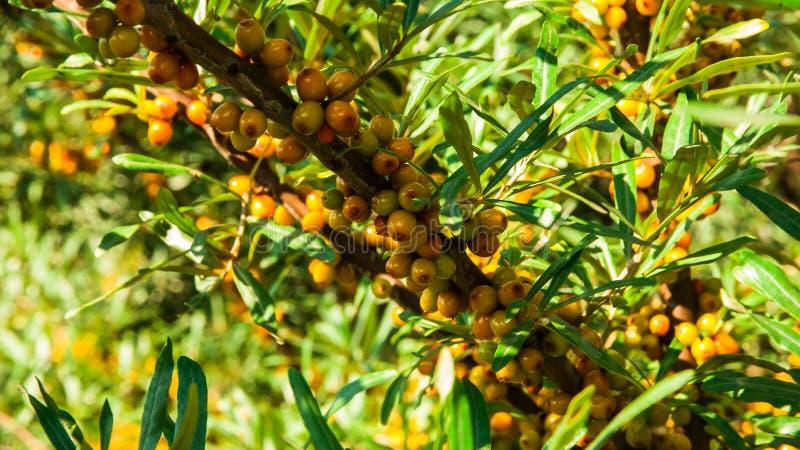 Зрея ягоды на ветви стоковая фотография