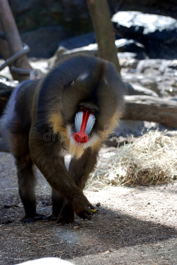 Зрелая взрослая обезьяна Mandrill идя на все Fours стоковое изображение rf