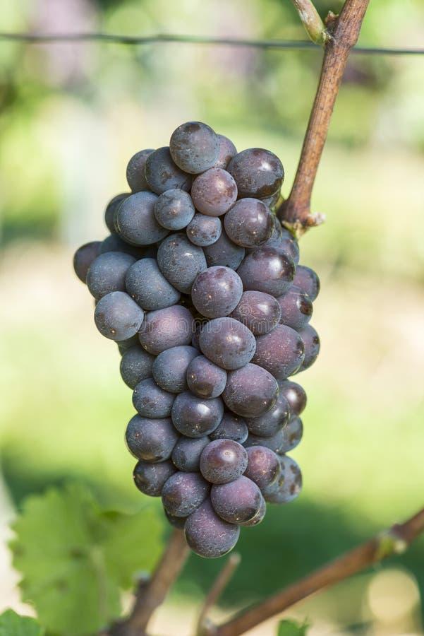 Зрелая виноградина Pinot Gris в винограднике перед сбором стоковая фотография rf