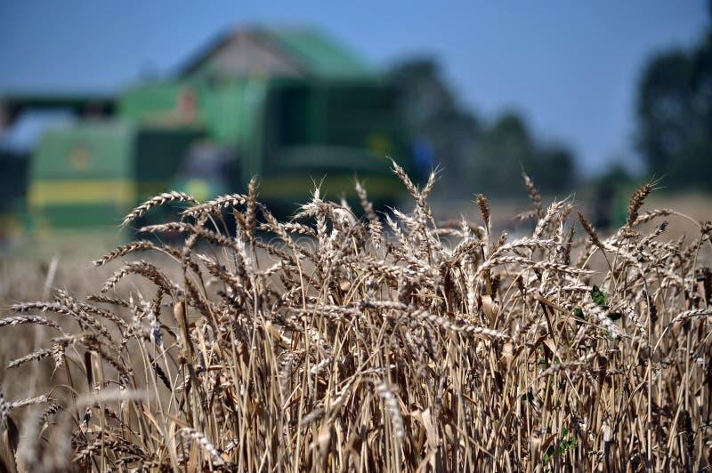 Зрелая пшеница на предпосылке combine_9 стоковое изображение