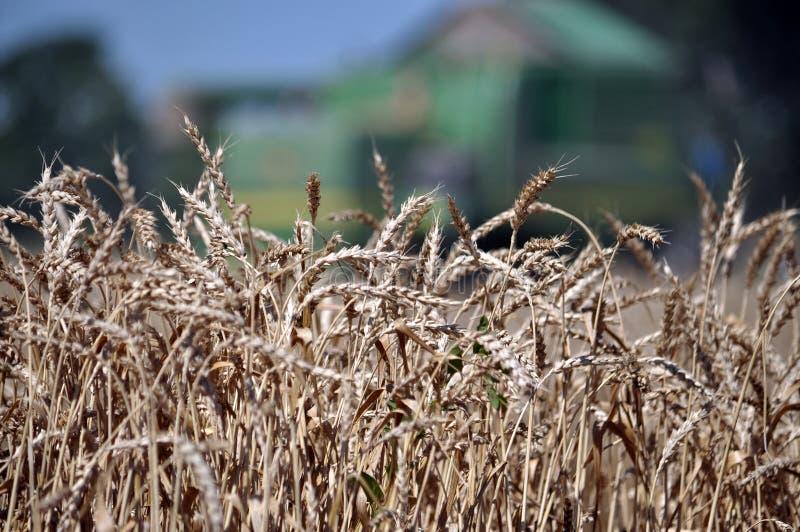 Зрелая пшеница на предпосылке combine_10 стоковое изображение