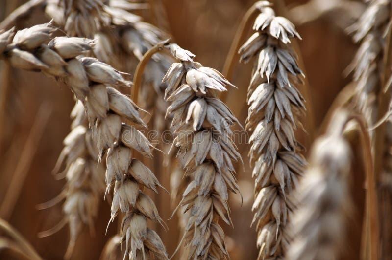 Зрелая пшеница ears_3 стоковое изображение rf