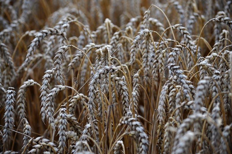 Зрелая пшеница ears_9 стоковая фотография