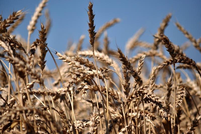 Зрелая пшеница spike_3 стоковые изображения rf