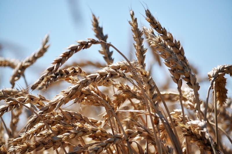 Зрелая пшеница spike_5 стоковые фото