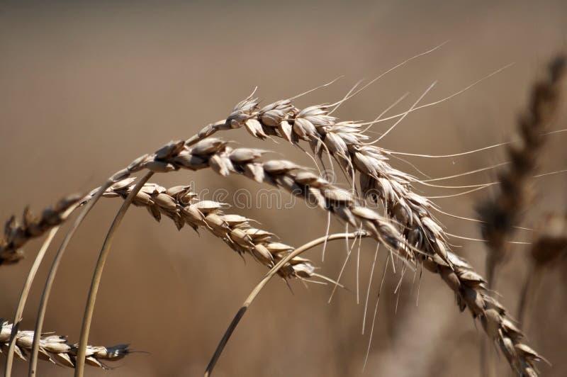 Зрелая пшеница spike_7 стоковая фотография