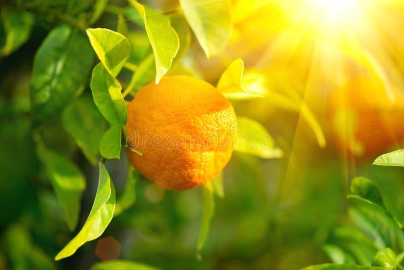 Зрелая смертная казнь через повешение апельсина или tangerine на дереве стоковое фото